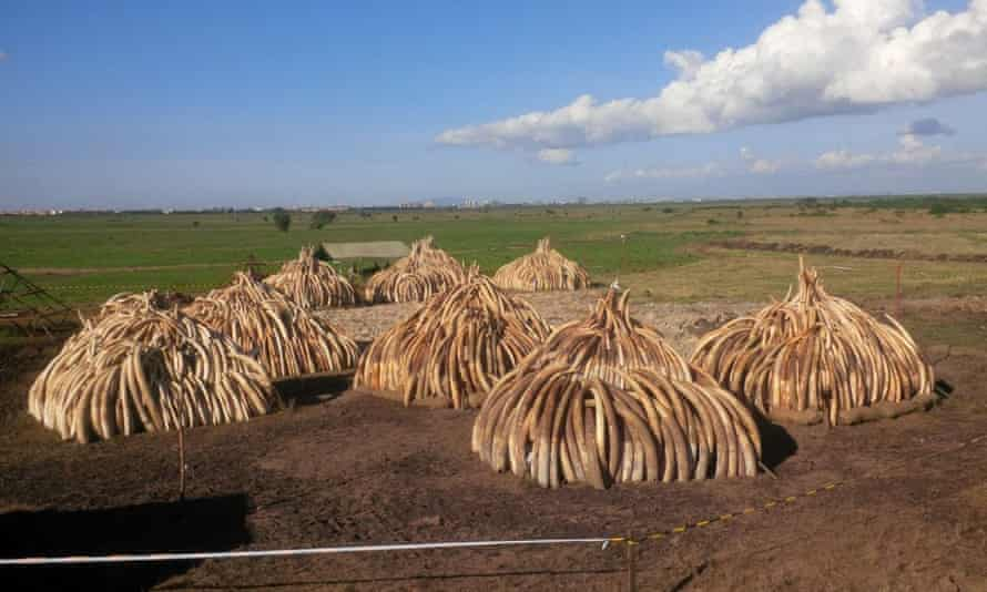 Stacks of 105 tonnes of ivory in Nairobi National Park, Kenya. On 30 April Kenyan President Uhuru Kenyatta will set fire to the ivory in a public ceremony in order to put it out of economic use.