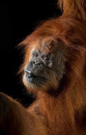 Sumatran orangutan – critically endangeredThe orangutan's natural habitat on the island of Sumatra, Indonesia, is seriously threatened by logging, mining and agricultural plantations.