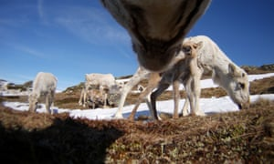 Clean energy schemes have reduced reindeer habitats by up to 40%