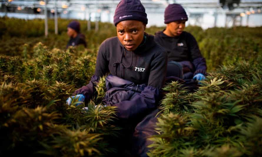 Women harvest cannabis leaf inside a greenhouse operated by MG Health