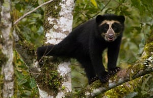 Andean or spectacled bears were in decline across South America, but records suggest their numbers are growing in Ecuador.