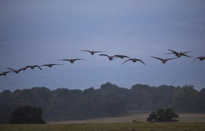 Canadian geese fly above Richmond Park at dawn