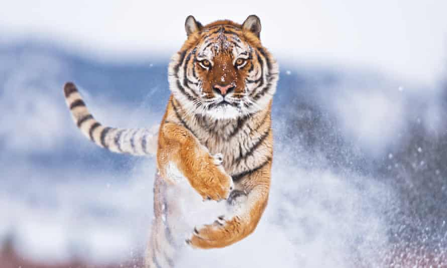 The Amur tiger: in the 1930s, just 20-30 animals remained.