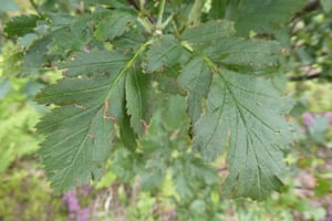 The leaves of the Arran service tree. Photograph: Carey Davies