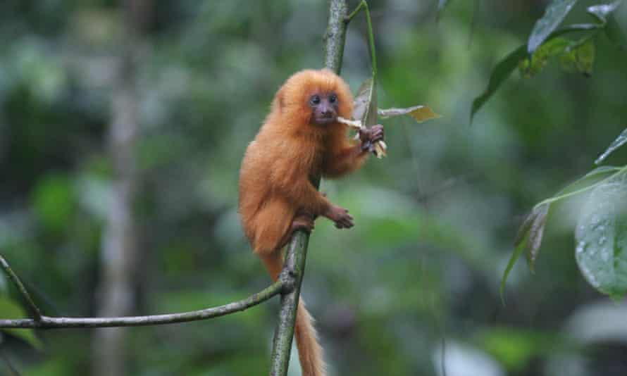 Once thought to be extinct, the golden lion tamarin is a translocation success story