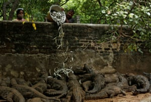 Zoo keepers feed crocodiles in their enclosure at the Madras Crocodile Bank in Mahabalipuram, India.