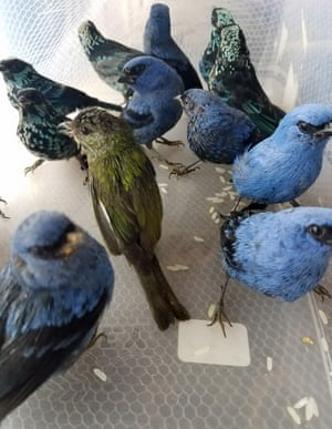 Birds tweet after being rescued from the luggage of a passenger at Lima's international airport in Peru