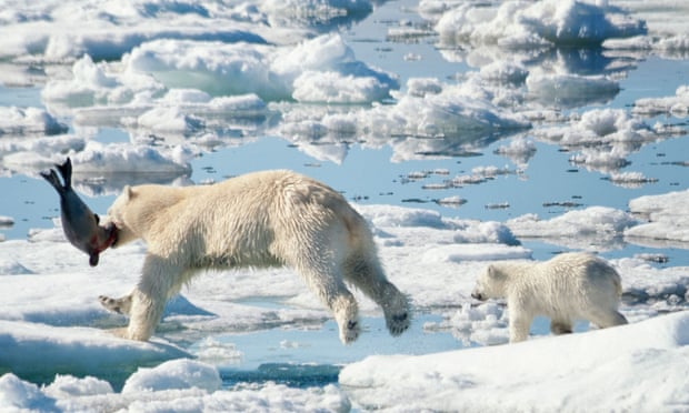 Arctic ice loss forces polar bears to use four times as much energy to survive – study