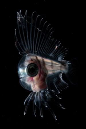 Japanese manefish