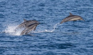 Spinner dolphins (Stenella longirostris) are a common site off the coast of Timor Leste
