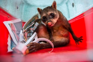 Ariel, an old raccoon, is transported in a cage to the Ibama Animal Recovery Center in Seropédica city, Brazil