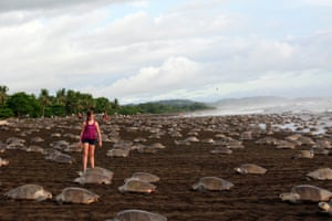 Sea turtles arrive on Playa Ostional to lay their eggs. More than 250,000 female olive ridley turtles came ashore on the beach in Costa Rica in a mass nesting known as an arribada