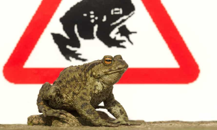 An adult common toad photoghraphed next to a 'toad crossing' sign in Sheffield, South Yorkshire.