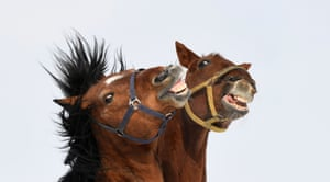 Two horses play in their paddock close to the small Bavarian village of Puchheim near Munich, Germany