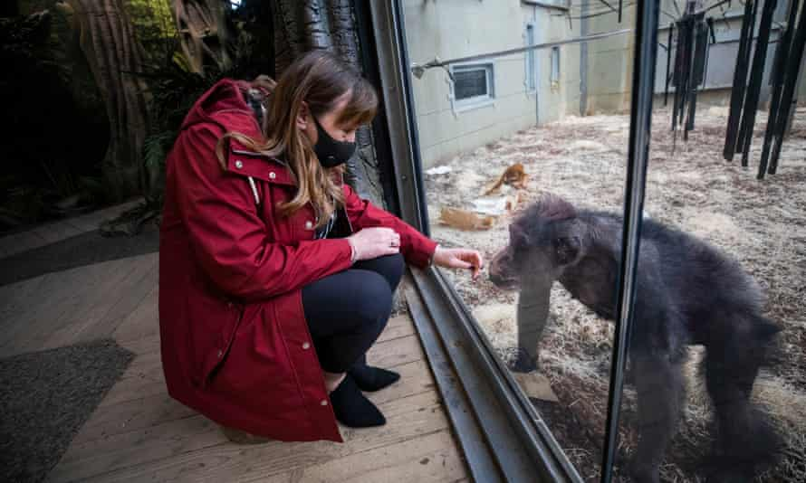 Karen Clarke, Twycross zoo's chief operating officer, with Flynn the chimpanzee