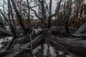 1500 year old Pencil Pine. Bushfire damage in Tasmania, Australia, January/February 2016.
