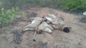 Corpses of two young male lions and one young female lion, Limpopo national park.