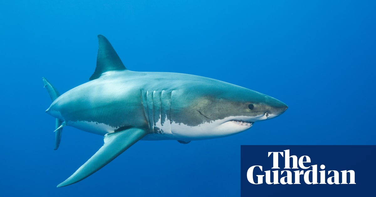Western Australian man allegedly set off fake shark warnings with tag removed from great white