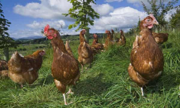 Free-range hens foraging for food in the Lake District.