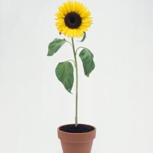 Sunflower in Pot