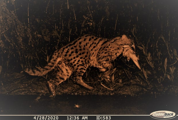 An image of a fishing cat with its catch at Chilika, Odisha. The image was captured by the camera trap. Photograph: Courtesy of The Fishing Cat Project
