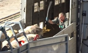 Animals exported from EU countries are loaded on to a boat in Croatia.