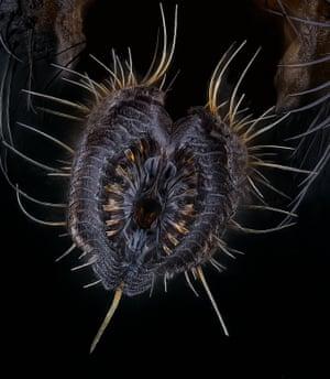Proboscis of a housefly