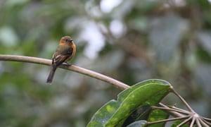 Cinnamon Flycatcher (Pyrrhomyias cinnamomeus).
