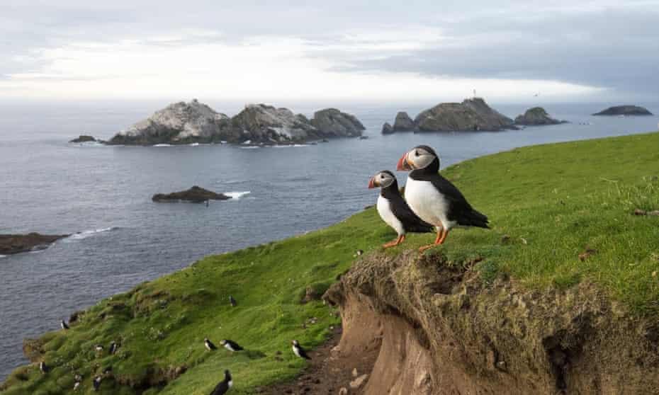 Splendid isolation … Puffins on Unst, Shetland.