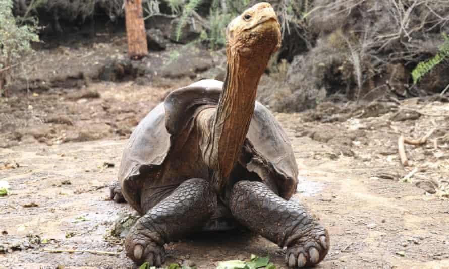 Diego fathered an estimated 800 offspring on Santa Cruz Island, Galapagos, Ecuador. He has been retired and returned to his original habitat on Española Island