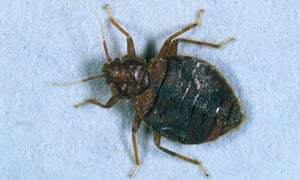 The bed bug (Cimex lectularius). The German Alpine Club estimates that many of the 2,000 huts across the Alps are affected.