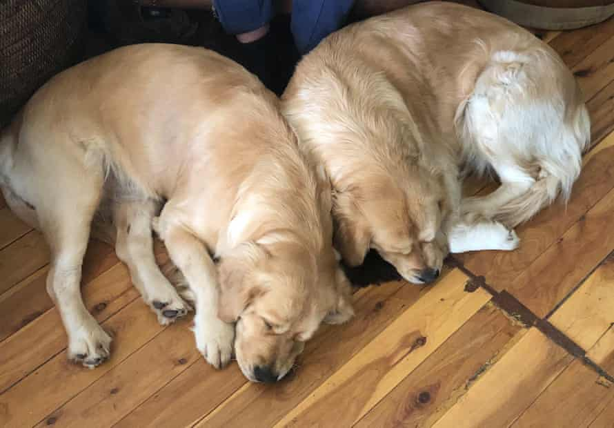 two golden retriever dogs curled up sleeping on the floor
