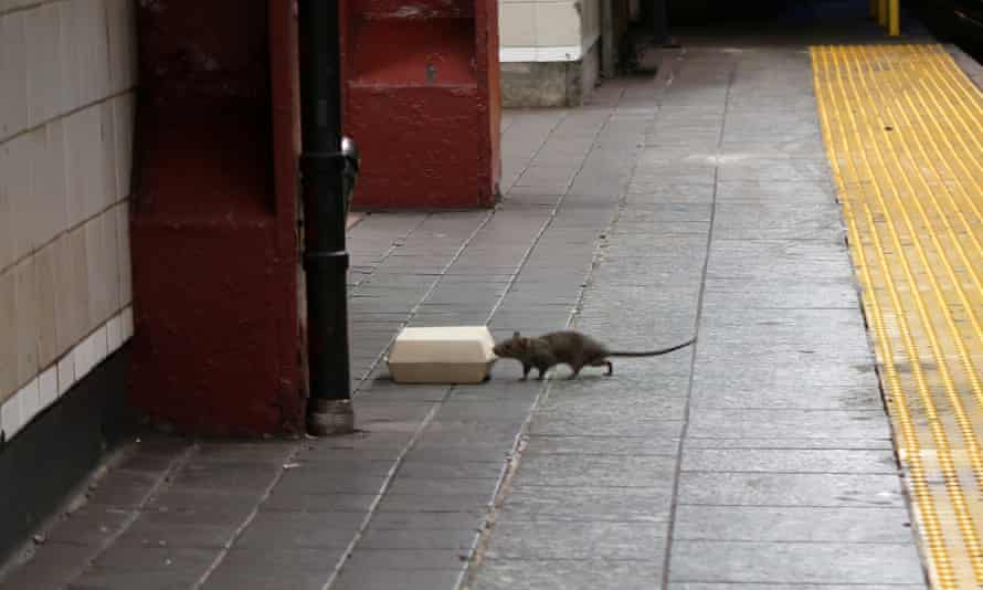 The rats have developed expensive tastes for avocados and burritos.
