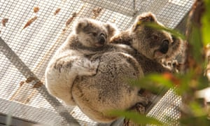 A koala and her joey that were rescued from Kanangra-Boyd national park in the Blue Mountains. They are being cared for at Taronga Wildlife hospital until it's safe to return.