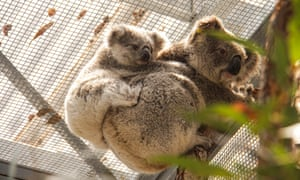 Koalas rescued from the Kanangra-Boyd national park are being cared for at Australia's Taronga Wildlife hospital.