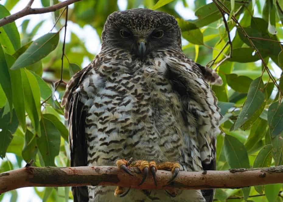 A powerful owl with chicks pictured nesting in inner-city Brisbane.