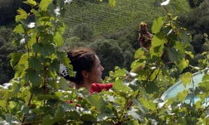 Pick of the bunch: a woman samples some grapes during harvest time in southwestern France.