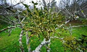 Mistletoe growing on an apple tree