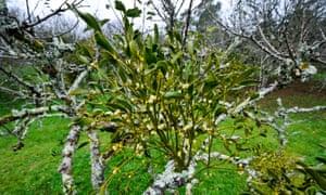 Mistletoe growing on apple trees at Cotehele, Cornwall, a National Trust garden.