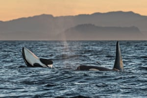 Orcas play in the Salish Sea off Vancouver Island, British Columbia, Canada, at sunset. The species have suffered declines in numbers and health, and these will be part of a program to treat them with antibiotics to assist the struggling pod.