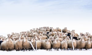 Sheep pose for a group shot in Borgarfjordur, Iceland