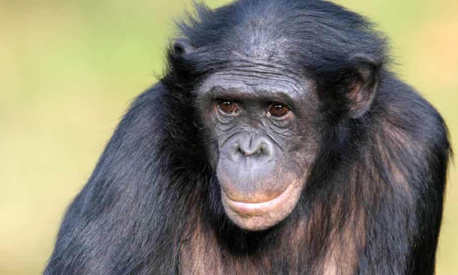 Female bonobo with crossed arms