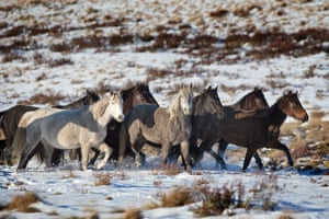 Wild brumbies in the Snowy Mountains