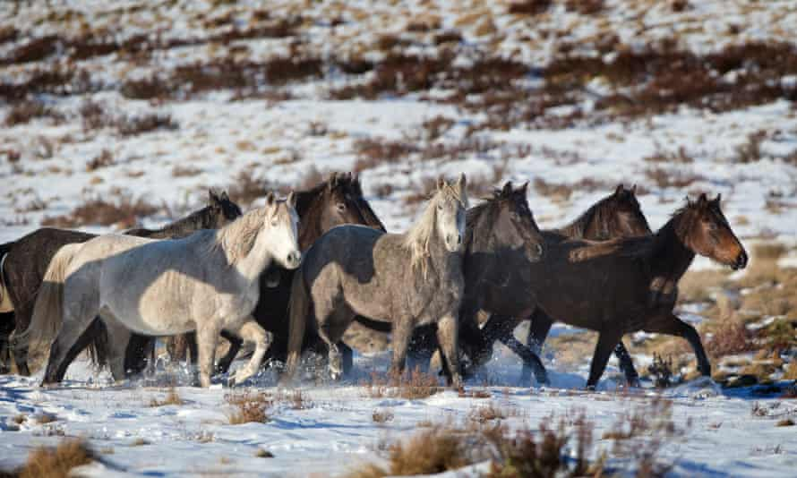 A herd of wild brumbies grazing on the plains above Kiandra in the Kosciuszko national park