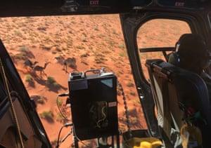 Ngurrara rangers log a sighting of wild camels