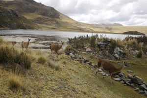 A herd of llamas runs on a path alongside the Marcapomacocha lagoon, Peru, in the Andes where rain falls for five consecutive months
