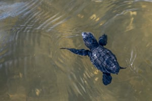 A baby green turtle (Chelonia mydas) swims into the sea after being released on the beach at Lalombi in Indonesia. Six of the seven species of sea turtles including the green turtle, live in Indonesian waters. The main threats to them are from hunting, fishing, egg trading and damage to nesting habitat