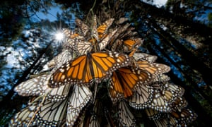 Monarch butterflies cover every inch of a tree in Sierra Chincua.