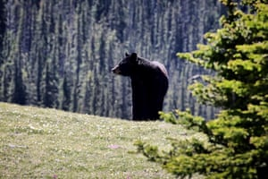 Black bear, Canmore, Canada
