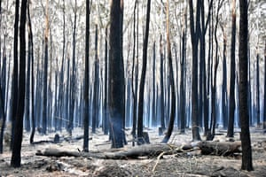 Trees are burned black after a bushfire in Old Bar, 350km north of Sydney. Bushfires in eastern Australia have devastated communities as conditions are expected to worsen in the coming days